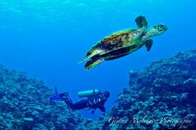 Fiji Diving Sea Turtle
