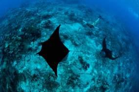 Fiji Snorkeling with Manta Rays